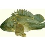 Grass Rockfish