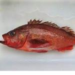 Northern Rockfish