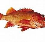 Red stripe Rockfish