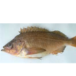 Speckled Rockfish