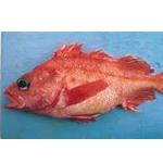 Splitnose Rockfish
