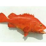 Yellow eye Rockfish