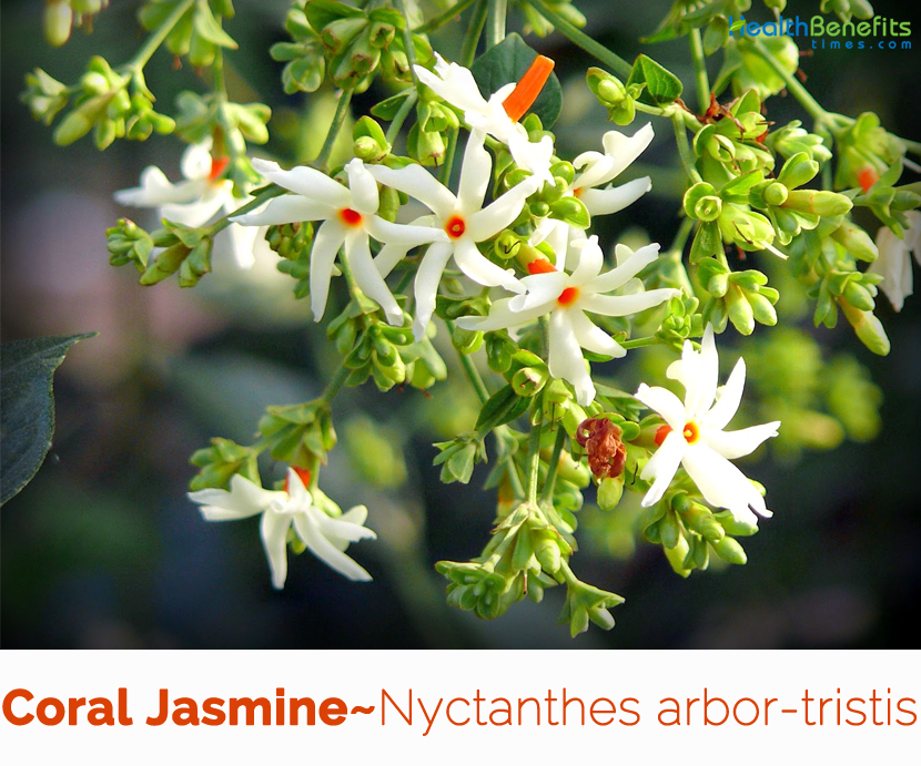 Health benefits of Coral Jasmine (Parijat)