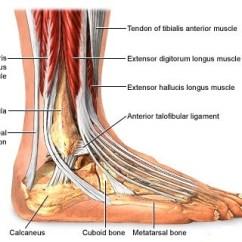 Tibia And Fibula Blank Diagram Remote Starter Solenoid Wiring Foot Tendon Injury   Healthcare-online