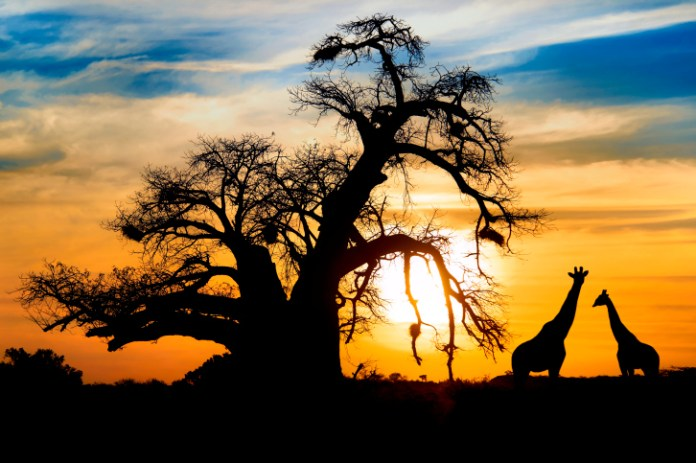 Spectacular african sunset baobab and giraffe at Entabeni game reserve