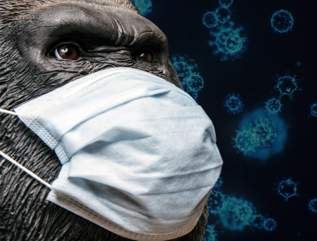 Ape wearing face mask