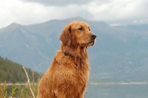 Golden Retriever - By Jocelyn Ellis.  Twin Lakes, CO, August.