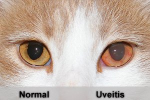The Main Symptom Of Uveitis Is Pain And You Will Be Able To Tell Your Cat Hurting By Its Squinting Producing Tears Should Also Notice That There