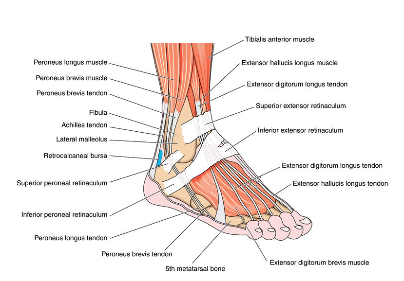 front leg ligament diagram international 4700 wiring pdf foot and ankle tendonitis: symptoms, diagnosis treatment | healthguidance