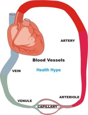 Blood Vessels (Artery, Vein) Structure, Function