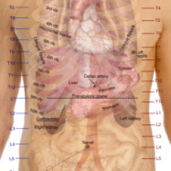 Diagram Of Rib Cage And Muscles Century Ac Motor Ao Smith Wiring Bladder Injury (trauma) Causes, Symptoms, Diagnosis, Treatment | Healthhype.com