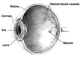 The Human Eye Eyeball Diagram Parts And Pictures Healthhype Com