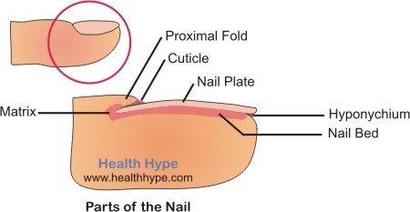 Exles Of Vertical Fingernail Ridges In Diseases Obstructive Airways Psoriasis Arthritis And Darier
