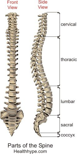 typical thoracic vertebrae diagram 97 ford expedition fuse panel parts of the spine – anatomy, picture, spinal column, backbone | healthhype.com