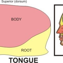 Human Taste Buds Diagram Partsam Led Trailer Lights Wiring Tongue And Root Great Installation Of Anatomy Parts Pictures Rh Healthhype Com Labeled