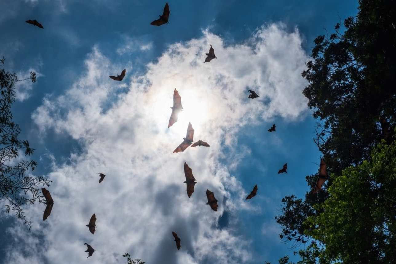 <em><strong>Indian flying foxes, a species of fruit bat considered to be a natural reservoir for the Nipah virus.</strong></em>