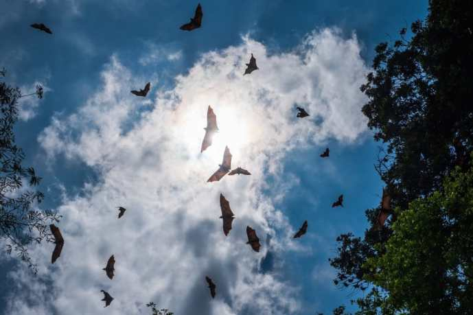 <em><strong>Indian flying foxes, a species of fruit bat considered to be a natural reservoir for the Nipah virus.</strong></em> Copyright: <a href='https://www.123rf.com/profile_koldunov'>koldunov / 123RF Stock Photo</a>