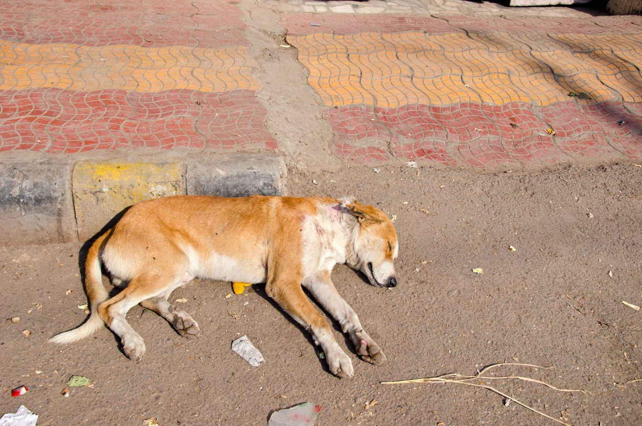 Anti-rabies vaccine shortage illustration. Stock Photo - dog sleeping on street in Punjab, India