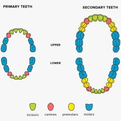 Teeth Names Diagram Exchange Mail Flow Shape And Function Of Four Types