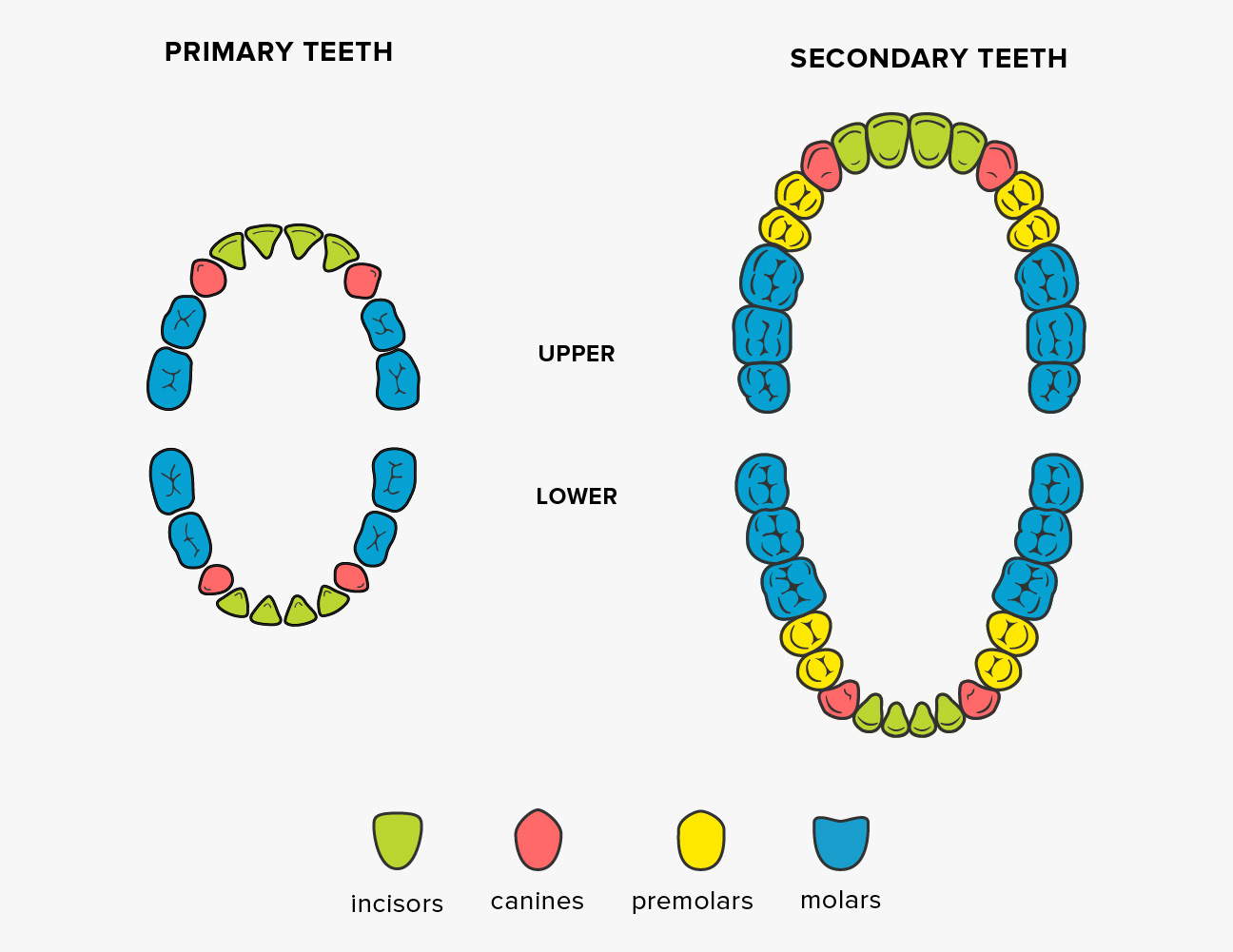 teeth names shape and function of four types of teeth rh healthline com  tooth diagram numbers tooth diagram numbers