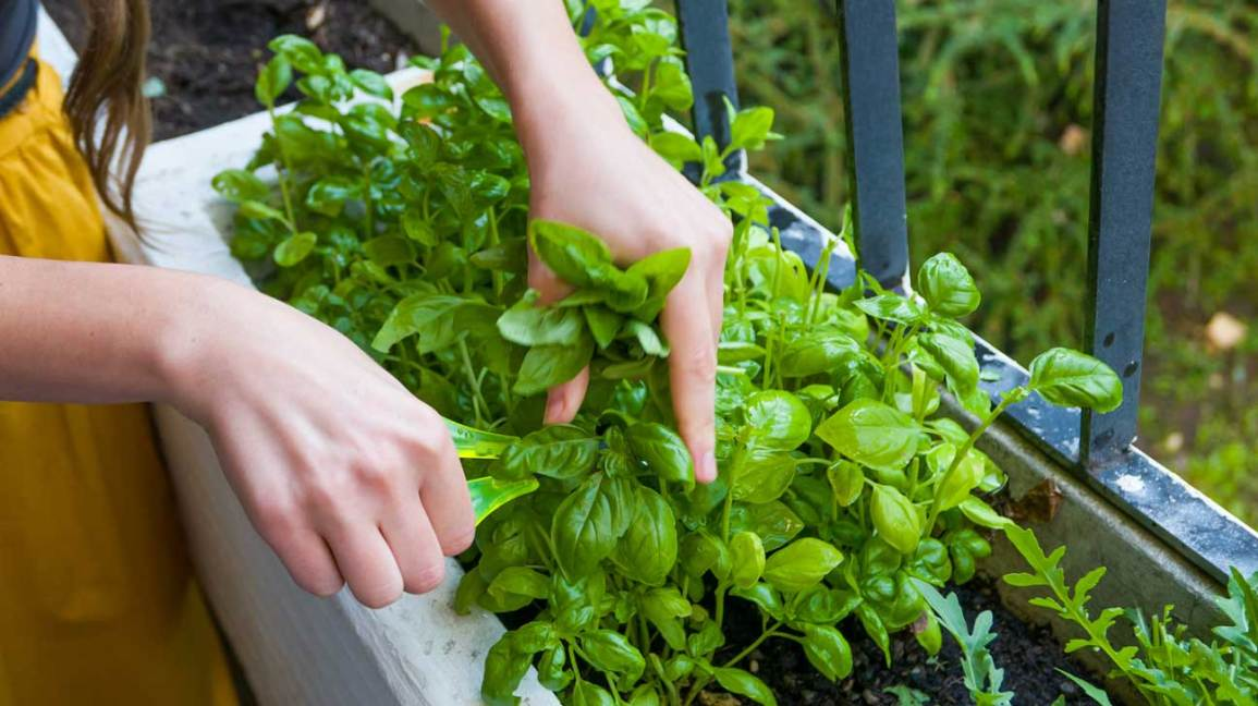 Basil Nutrition Health Benefits Uses And More