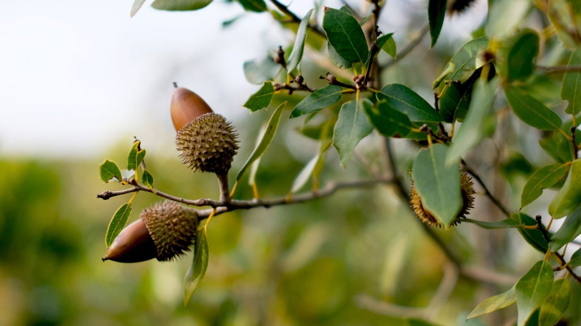 Can You Eat Acorns