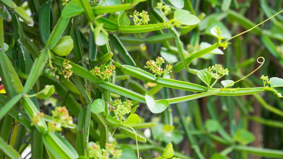 Cissus quadrangularis: Uses, Benefits, Side Effects, and Dosage