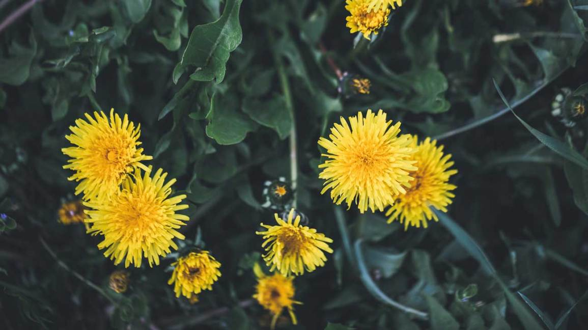 Dandelion Benefits