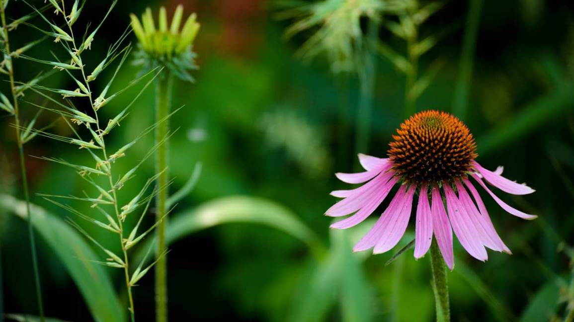 Echinacea: Benefits, Uses, Side Effects and Dosage