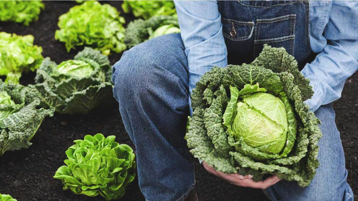 9 Impressive Health Benefits Of Cabbage