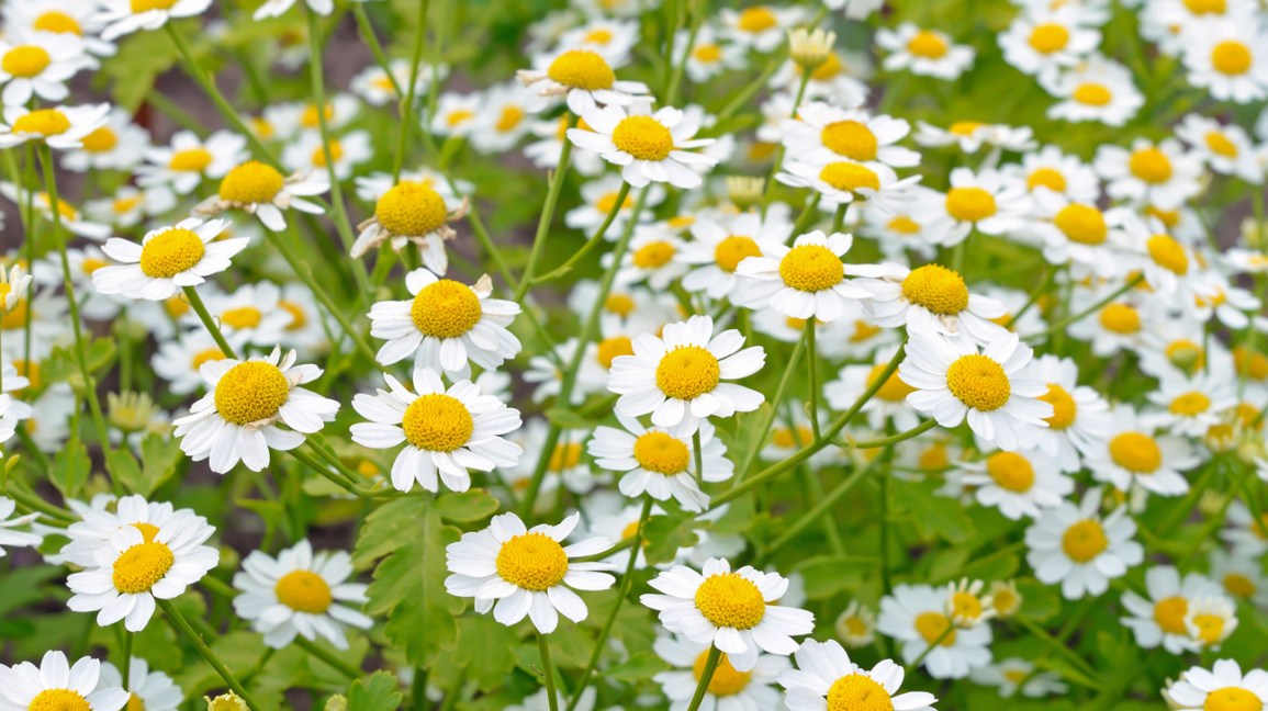What Is Feverfew, and Does It Work for Migraines?