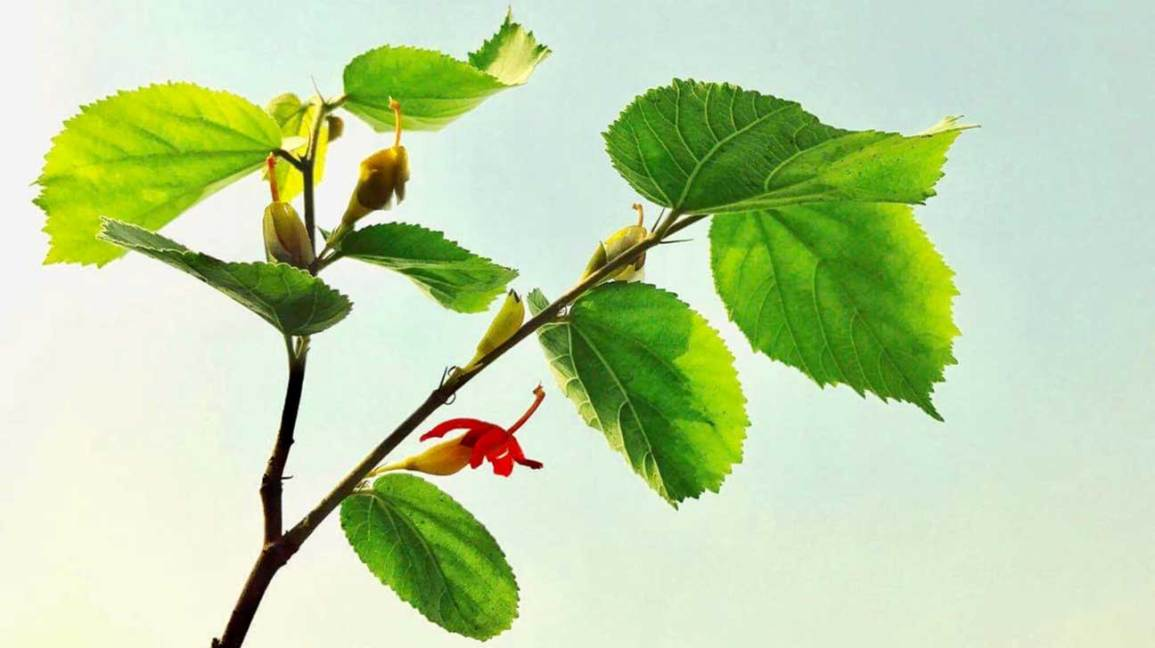6 Impressive Health Benefits of Gymnema Sylvestre