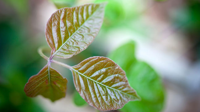 Image result for photos of poison ivy