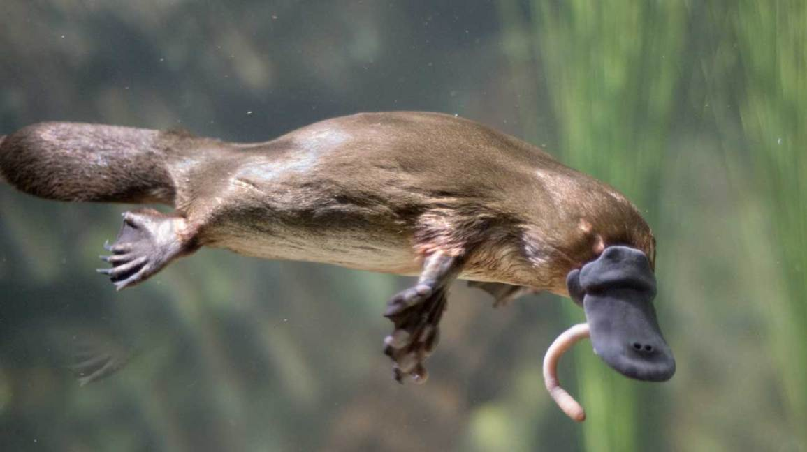 platypus venom hormone diabetes treatment