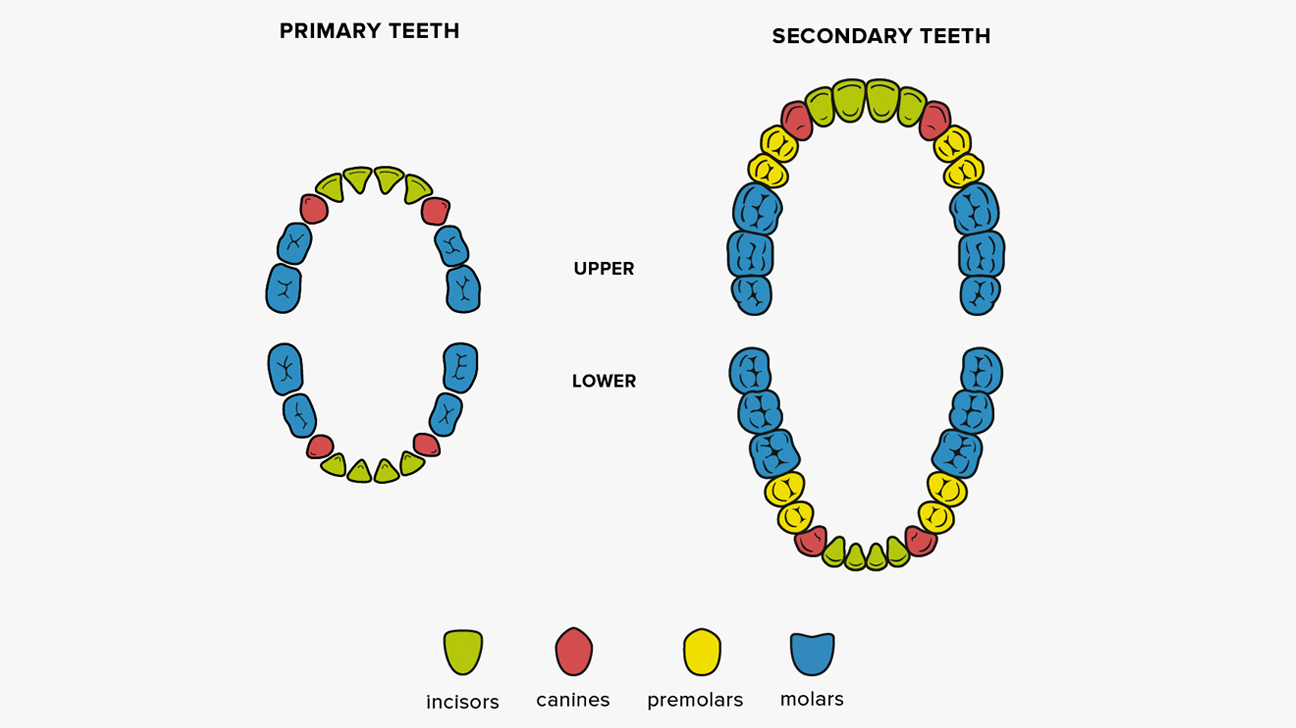 How many teeth in an adult mouth pics 537