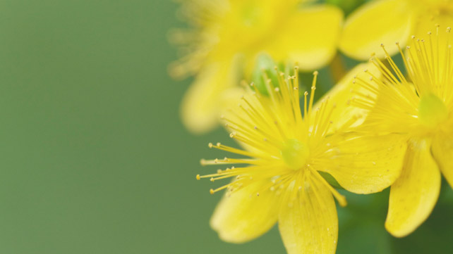 St. John\'s Wort: The Benefits and the Dangers