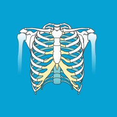 Diagram Of Ribs And Organs A Spot Pictures Anatomy Body Maps