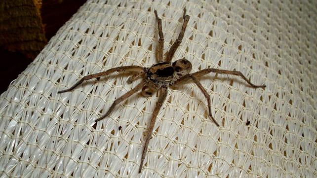 Spider Bite Identification Chart