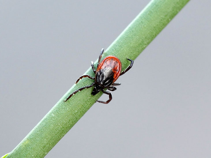 Chronic (Persistent) Lyme Disease: Symptoms and Diagnosis