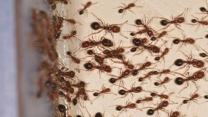 A Fire Ant Sting Is Supposed To Burn Like Unique Characteristic Of These Ants That They Not Only Bite The Skin But Also Perceived