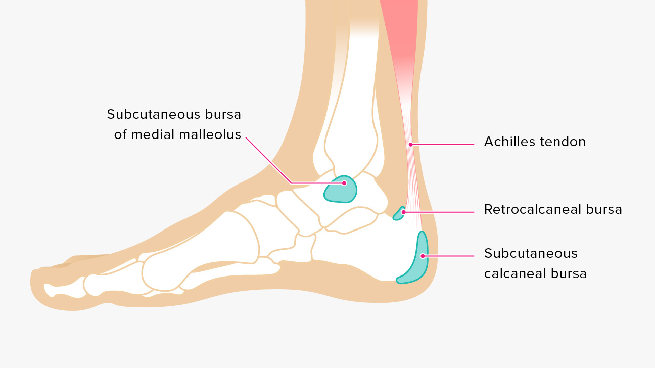 hight resolution of ankle tendon diagram