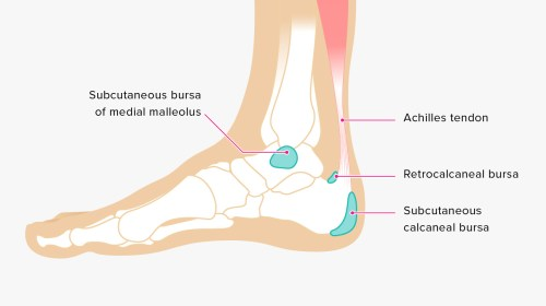 small resolution of ankle tendon diagram