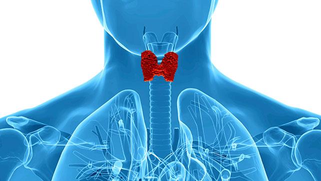 thyroïde role