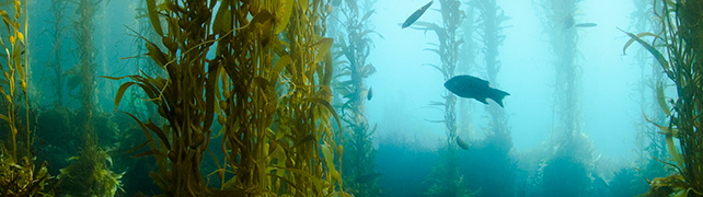 food power from the sea the seaweed story