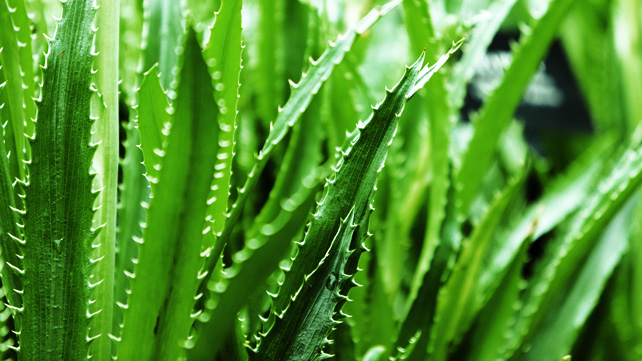 7 Amazing Uses for Aloe Vera