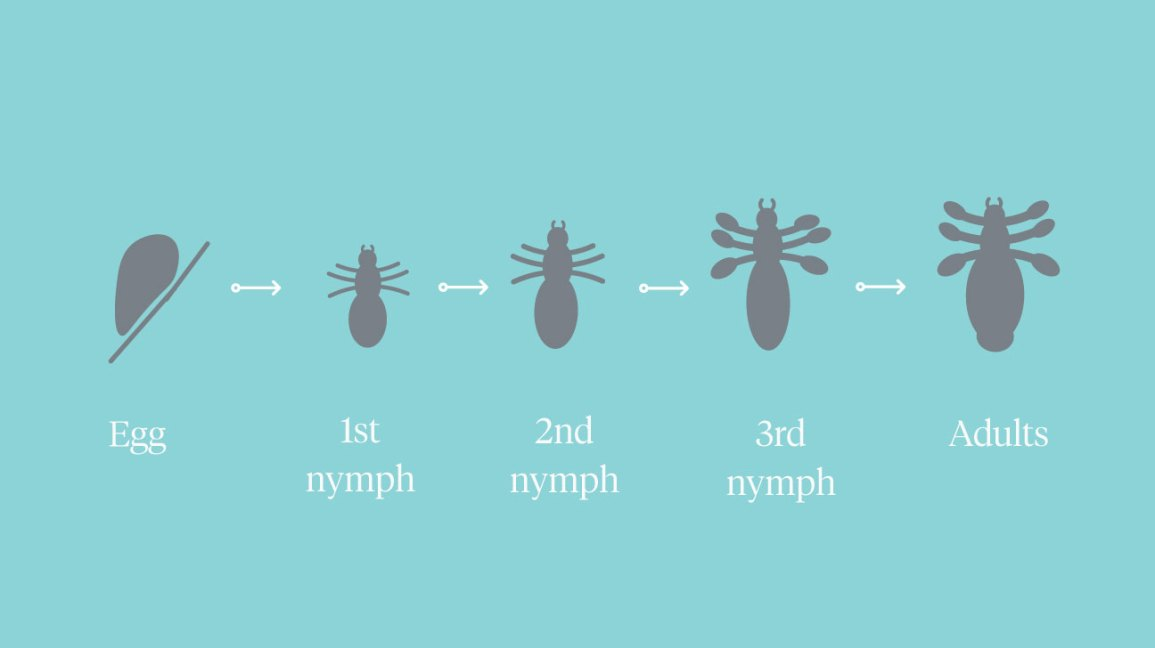 lice lifecycle