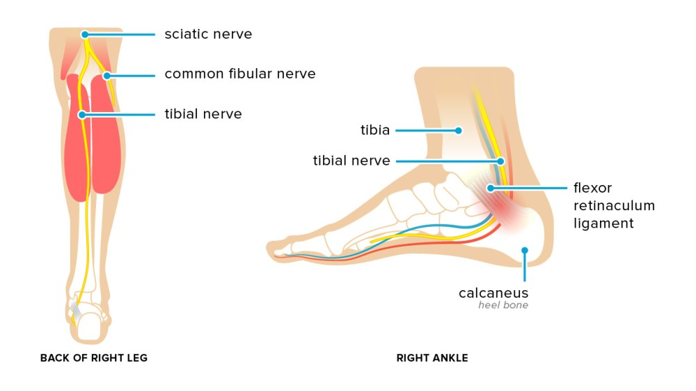medium resolution of ankle tendon diagram