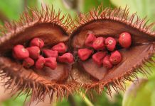 Annatto benefits