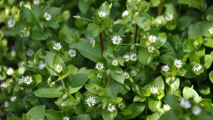 Chickweed benefits