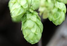 Common hop benefits (Humulus Lupulus)